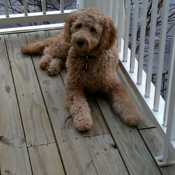 ROOT BEER (ROOTY)<br><br>Multi-gen Goldendoodle lives in Rockville, MD with the Silver/Levine family.